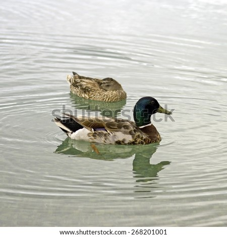 Pair of wild ducks swimming in the pond - shallow depth of field - stock photo