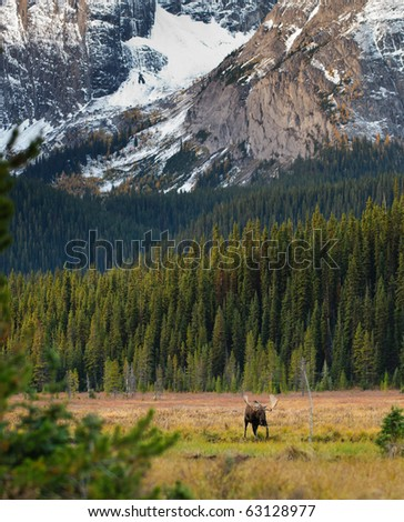 Pair of wild Moose in autumn, Spray Valley Provincial Park in Kananaskis Country Alberta Canada - stock photo