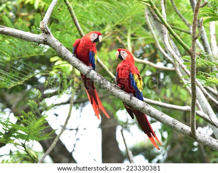 pair of wild scarlet macaws on tree, carate, corcovado national park, puntarenas, costa rica, central america near panama - stock photo