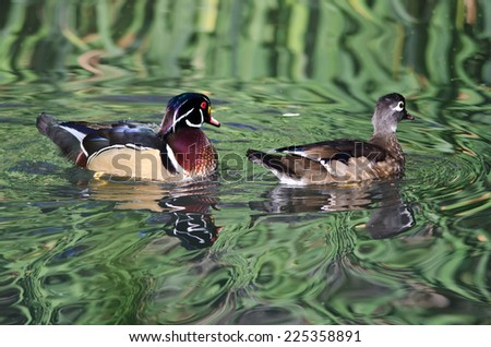 Pair of Wood Ducks Swimming in a Pond - stock photo