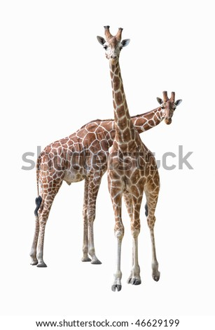 Pair of young giraffe isolated on white background - stock photo