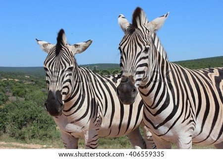 Pair of zebras posing on a clear day quietly for the camera. They appear to be curious about the photographer. - stock photo