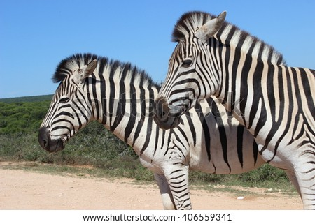 Pair of zebras posing on a clear day quietly for the camera. They stand calmly off the side of the road in the Addo Elephant Park in South Africa. - stock photo
