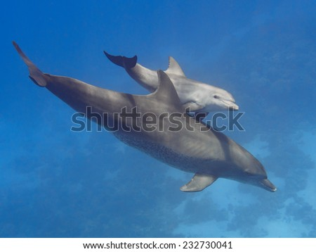 Pair (parent and child) wild bottlenose dolphins swimming in the deep blue sea near coral reef