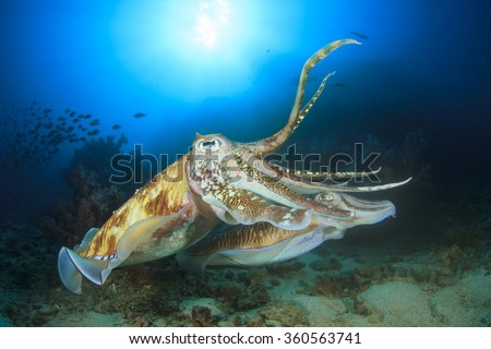 Pair Pharaoh Cuttlefish mating - stock photo