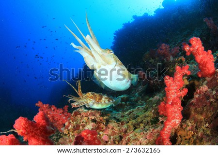 Pair Pharaoh Cuttlefish on coral reef - stock photo