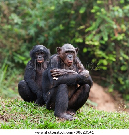 Pair portrait Bonobo on a grass - stock photo