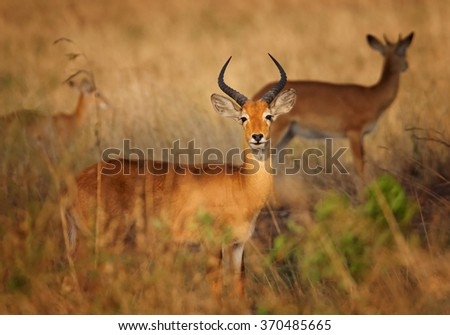 Pair reddish-brown antelope Kobus kob thomasi -- Uganda kob, territorial male in foreground, female in background, typical environment, dry brown blurred savanna in Murchison Falls,Uganda. Nice color. - stock photo