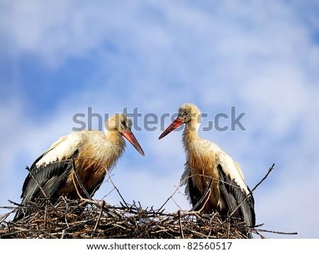 Pair white stork sitting on the nest on blue sky background - stock photo