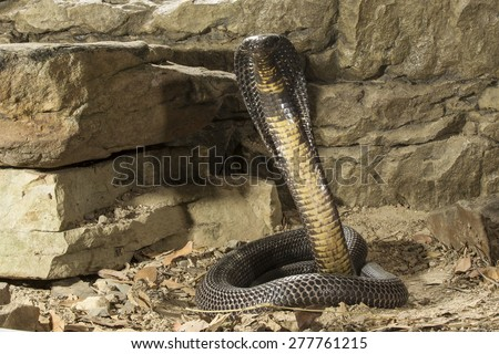 Pakaistan Black Cobra - stock photo