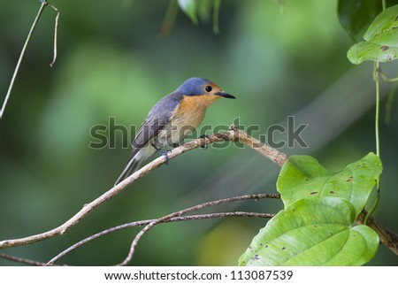 Palau Flycatcher (Myiagra erythrops), an endemic species to Palau, foraging on the island of Peleliu in the Republic of Palau. - stock photo