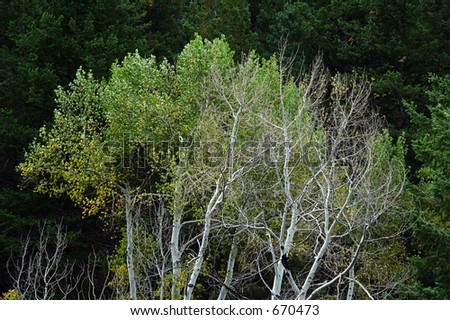 Pale Aspens near Redstone, Colorado, early autumn