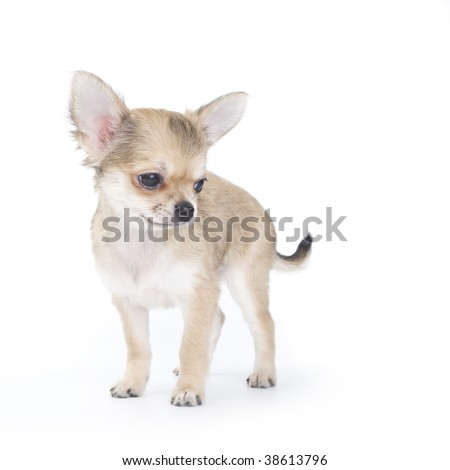 pale beige chihuahua puppy on white
