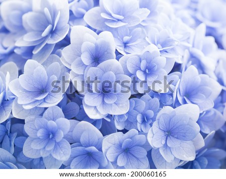 Pale blue hydrangea wet in the rain of rainy season