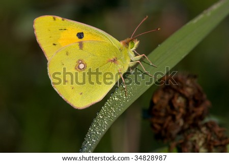 pale clouded yellow and dewdrops
