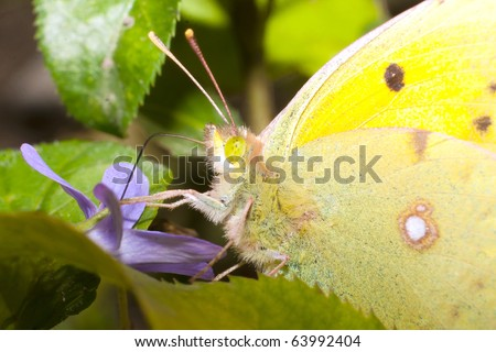 Pale Clouded yellow portrait / Colias hyale - stock photo