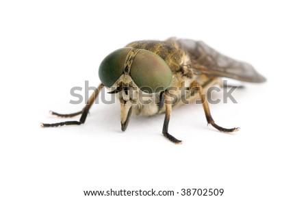 Pale giant horse-fly, Tabanus bovinus, in front of white background, studio shot - stock photo