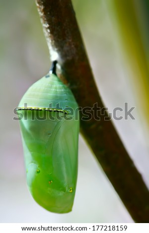 Pale green Monarch butterfly chrysalis hanging off a branch - stock photo