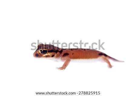 Pale Knob-tailed Gecko, Nephrurus laevissimus, on white - stock photo