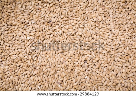 Pale malt barley, an ingredient for beer. - stock photo
