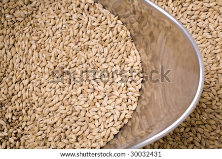 Pale malt barley, an ingredient for beer in a stainless steel scoop.