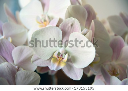Pale pink and cream Phalaenopsis Orchid from Japan: 'Ai Mother Cheek' - stock photo