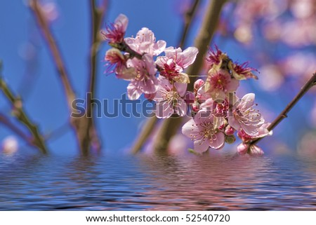 Pale pink blossom with reflection in the water