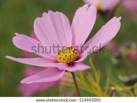 Pale pink Cosmos flower - stock photo