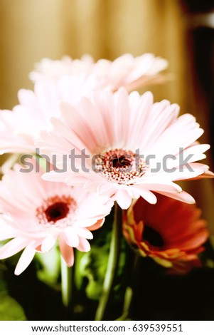 Pale Pink Daisy Flowers