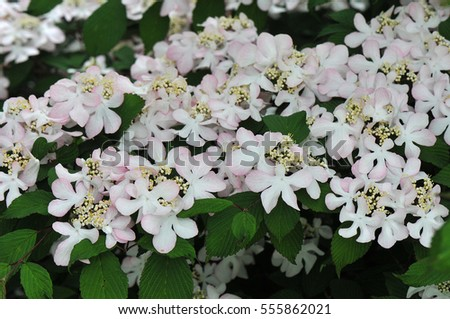 Pale pink flowers shrub called viburnum stock photo download now pale pink flowers from a shrub called viburnum plicatum pink beauty mightylinksfo