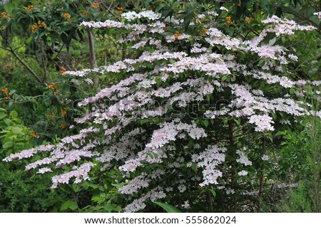 Pale pink flowers shrub called viburnum stock photo royalty free pale pink flowers from a shrub called viburnum plicatum pink beauty growing in a mightylinksfo