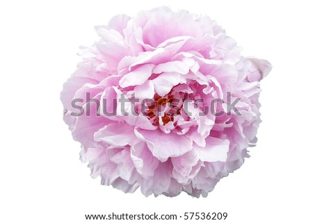 Pale Pink Peony Flower Isolated on White - stock photo