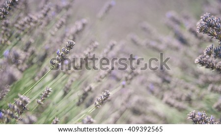 Pale purple blooming lavender flowers background image - stock photo