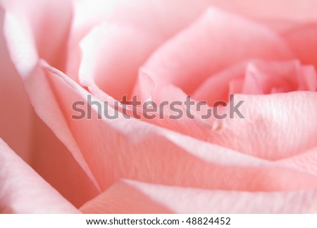 pale rose. fragment. very shallow depth of field