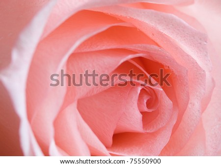 pale rose. fragment. very shallow depth of field - stock photo