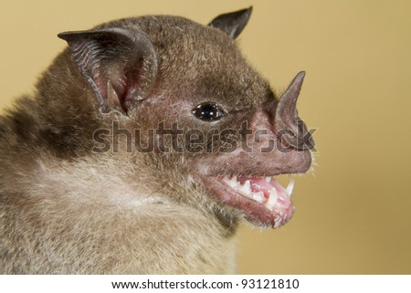 Pale spear-nosed bat (Phyllostomus discolor) portrait (Puerto Viejo, Costa Rica). - stock photo