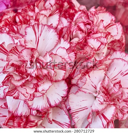 pale white and pink carnation flowers, natural background - stock photo