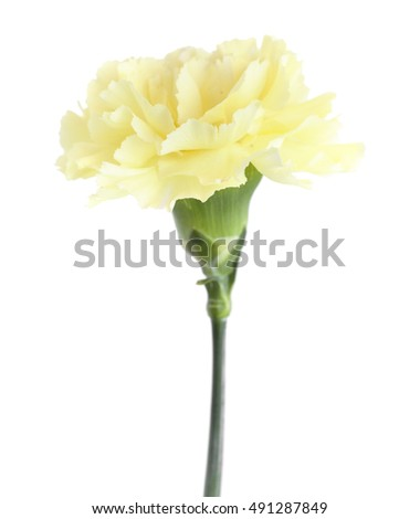 pale yellow carnation flowers isolated on white background