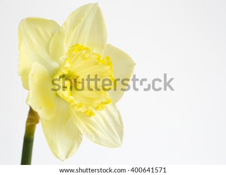 Pale yellow daffodil on white - stock photo