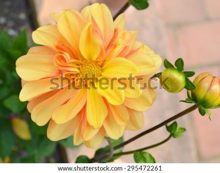 pale yellow dahlia flower closeup - stock photo