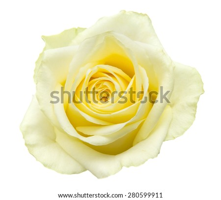 pale yellow-green rose isolated on white background - stock photo