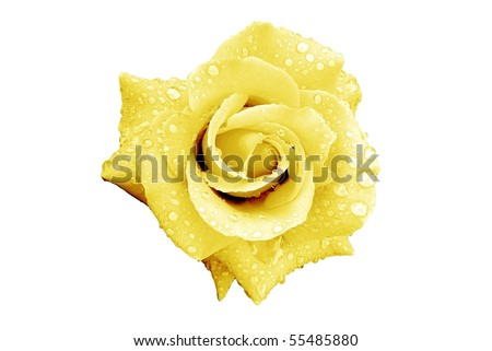 Pale Yellow Rose Flower with Rain Drops Isolated on White - stock photo