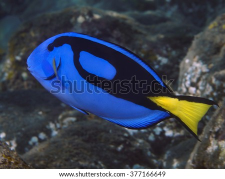 Palette surgeonfish in Bala sea (Indonesia) - stock photo
