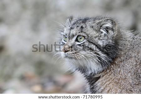 Pallas Cat - stock photo