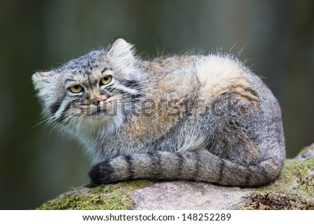 Pallas cat, or manul, lives in the cold and arid steppes of central Asia. Winter temperatures can drop to 50 degrees below zero. - stock photo