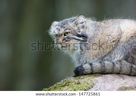 Pallas�´s cat, or manul, lives in the cold and arid steppes of central Asia. Winter temperatures can drop to 50 degrees below zero. - stock photo