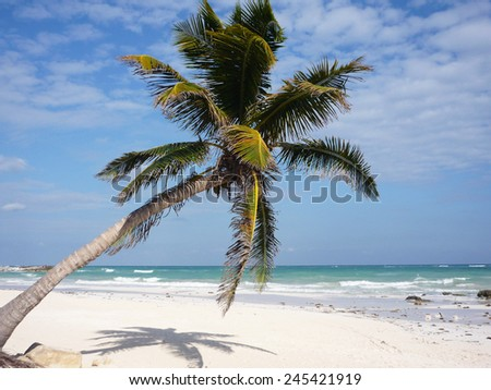palm bent in front of the Caribbean Sea