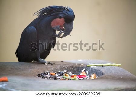 Palm Cockatoo Parrot (Probosciger aterrimus) eating food - stock photo