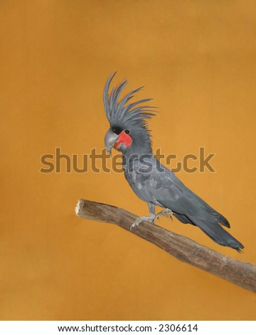 Palm cockatoo(Probosciger aterrimus) sitting on a branch - stock photo