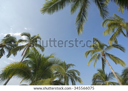 Palm, coconut palm trees